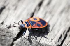Red poison bug - pyrrhocoris apterus Stock Photos