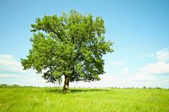 old oak tree on green meadows - stock photo