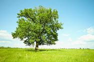 Stock Photo of old oak tree on green meadows