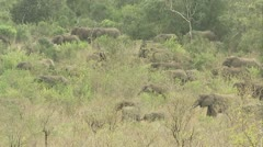 A large herd of elephants breaking branches. - stock footage