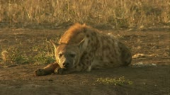 A spotted hyena lying on the ground. Stock Footage