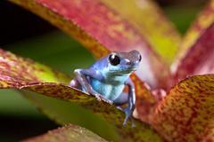 blue poison frog - stock photo
