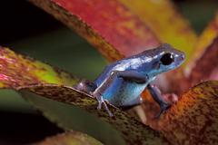 Blue poison frog Stock Photos