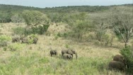 Stock Video Footage of Wide shot of elephants in Hluhlue Umfolozi game reserve