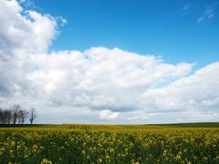 Beautiful rapeseed field Stock Photos