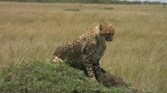 Cheetah in natural environment Stock Footage