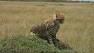 Cheetah in natural environment Stock Footage