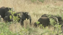 African elephants walking in a line Stock Footage