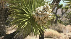 Joshua Tree bloom Stock Footage