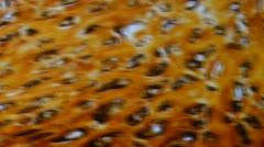 Plasmodesmata, during cells, light micrograph Stock Footage