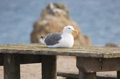 Seagull rests on a picnic bench - stock photo