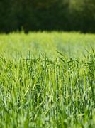 green barley - stock photo