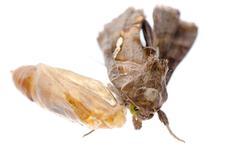 Snout moth Stock Photos