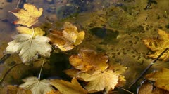 Leaves in the water - Water striders - stock footage