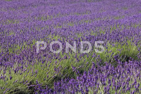 Stock photo of Lavender field