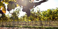 Grape in sunlight Stock Photos