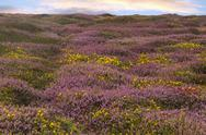 Field of heather Stock Photos