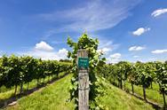 Vineyard of zweigelt grape Stock Photos