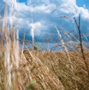 Landscape of field with cereal plants and moody cloudscape - stock photo