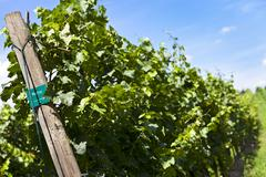 Vineyard of merlot grape - stock photo
