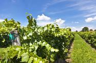 Vineyard of Pinot Blanc grape Stock Photos