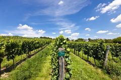 Vineyard of Riesling Grape Stock Photos
