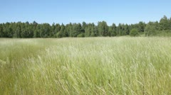 Ears green grass and plants in field before wood. Stock Footage