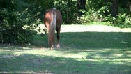 Stock Video Footage of Horse walks away; HD 1080 24p