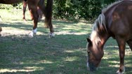 Stock Video Footage of Horses graze; HD 1080 24p
