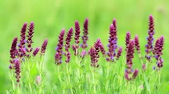 Meadow Clary Stock Footage