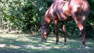 Stock Video Footage of Horse grazing; HD 1080 24p