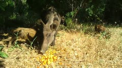 Wild Boars Stock Footage