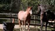 Stock Video Footage of Horses playing flirting; HD 1080 24p