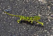Chameleon Greetings Stock Photos