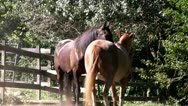 Stock Video Footage of Horses playing flirting; 4; HD 1080 24p