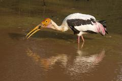 Stock Photo of stork eating frog