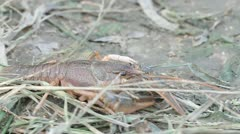Narrow-clawed crayfish Astacus leptodactylus in nature Stock Footage