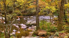 Man fly fishes in autumn mountain stream Stock Footage