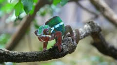 Chameleon  sits on a branch and rolls eyes looking for a food. Stock Footage