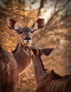 rare tender moment kudu ewe and calf - stock photo