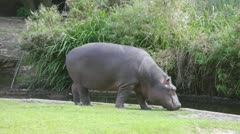 Hippopotamus goes on the river bank and something eats - stock footage