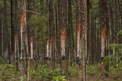 Pine trees with resin extraction in progress Stock Photos