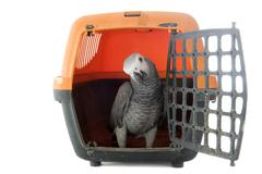 african grey parrot in kennel - stock photo