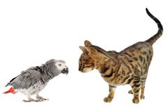 scaring parrot and cat - stock photo