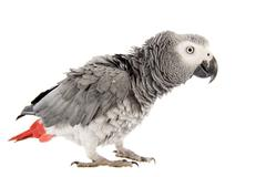 scaring african grey parrot - stock photo