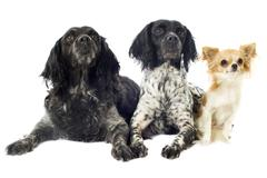 Brittany spaniels and chihuahua Stock Photos
