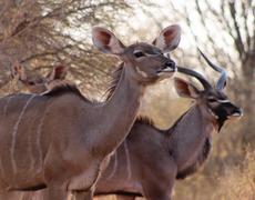 kudu ewe with bull in background - stock photo