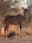Proud kudu ewe pose Stock Photos