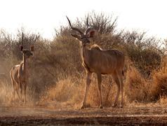 Alert kudu bull and ewe Stock Photos