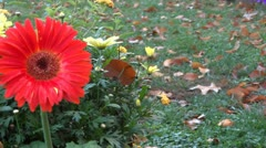 Gerber daisy Stock Footage
